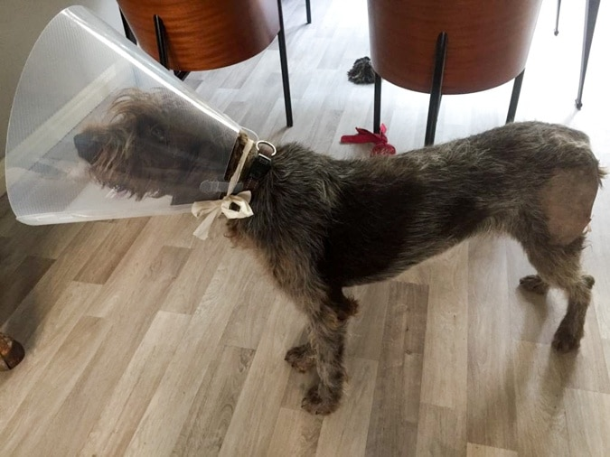 dog Watson with cone