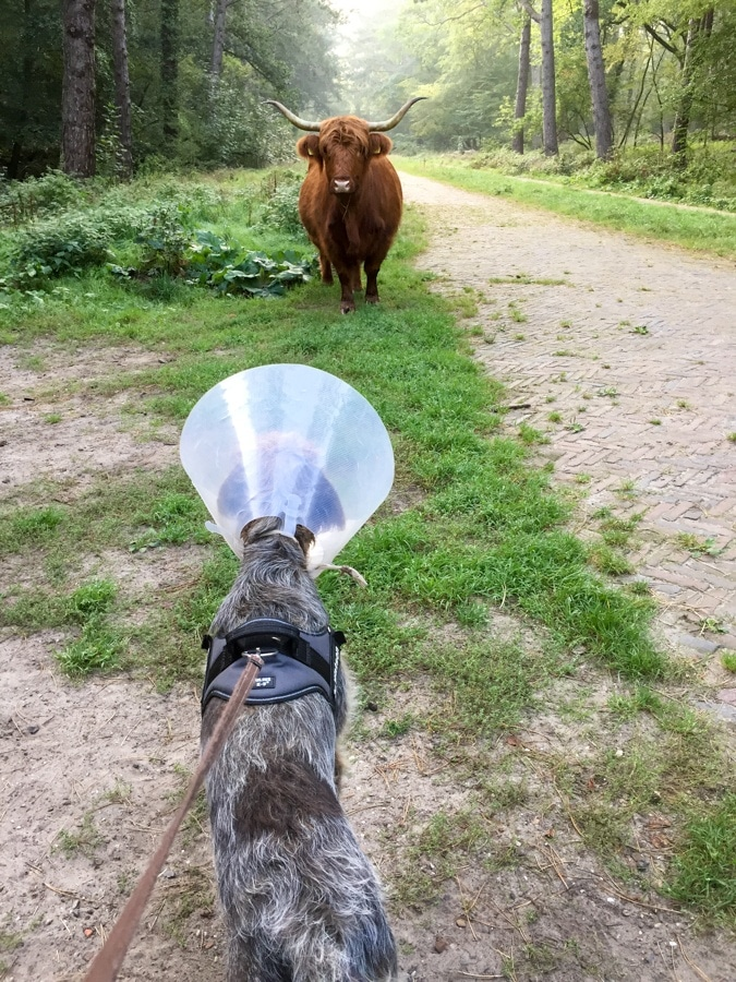 Dog with lampshade meets cow with hat rack
