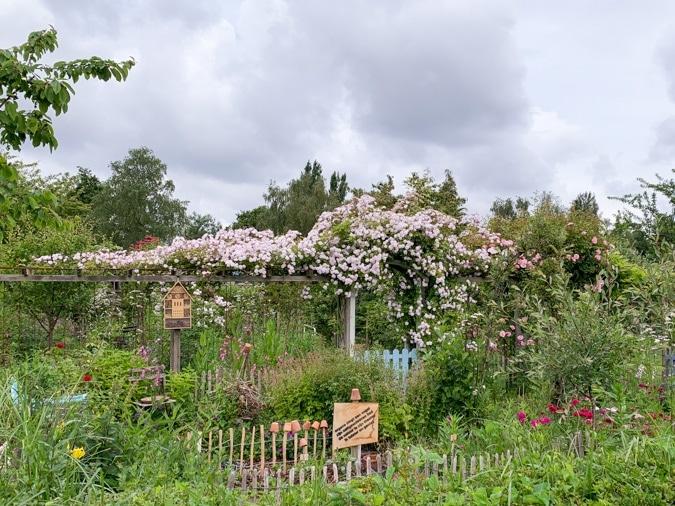 Roses at an allotment garden