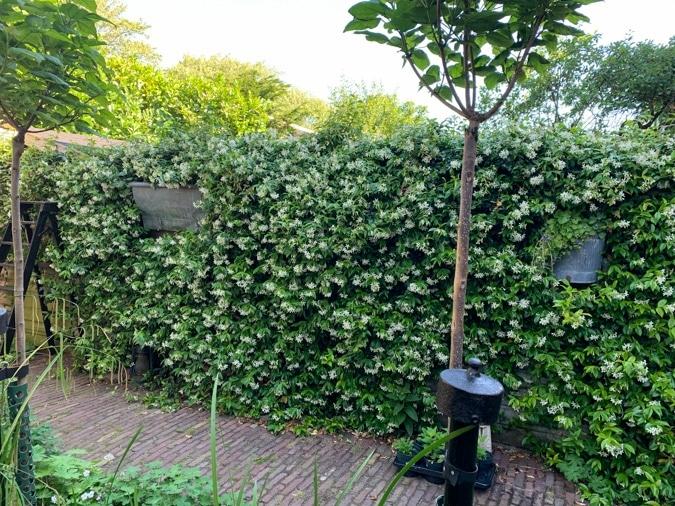 Garden fence with jasmine