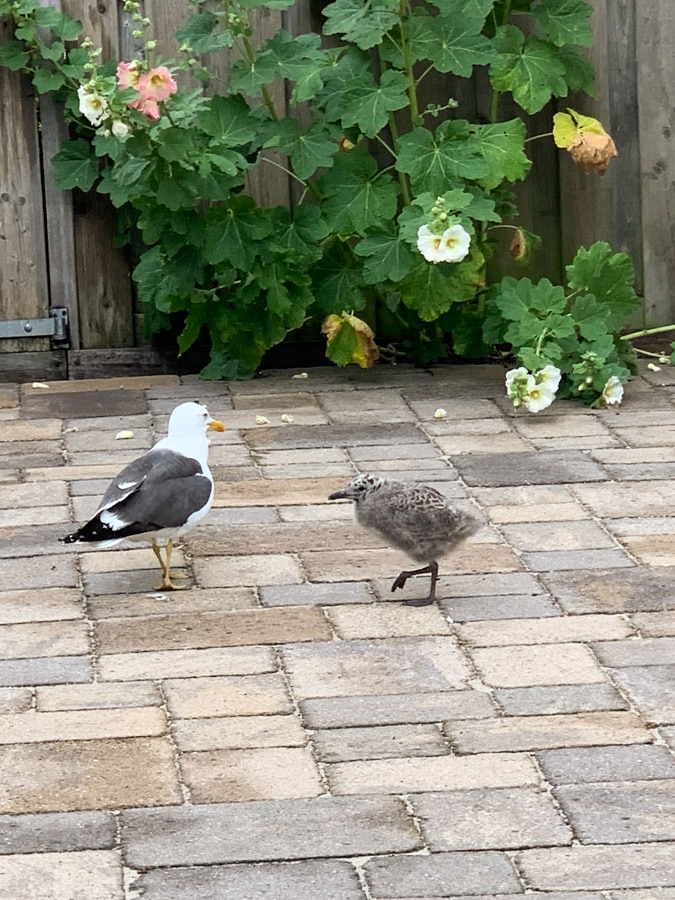 Young seagull and its mum