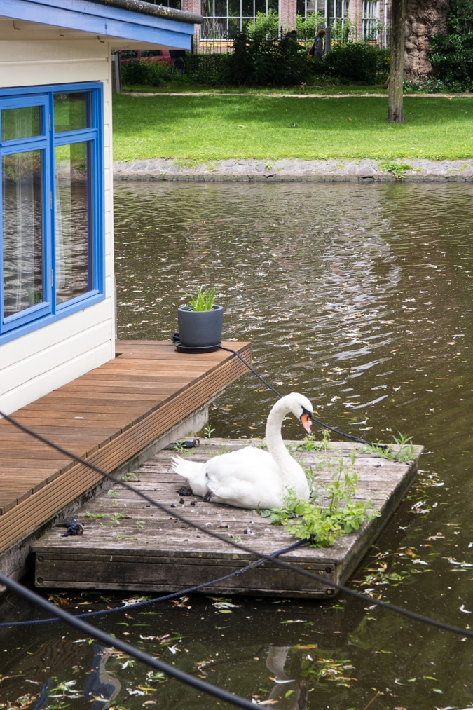Swan in Amsterdam canal
