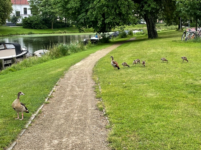 Geese with their little ones